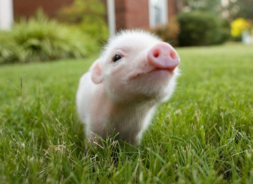 baby-cute-grass-i-love-pig-pig-Favim.com-109325